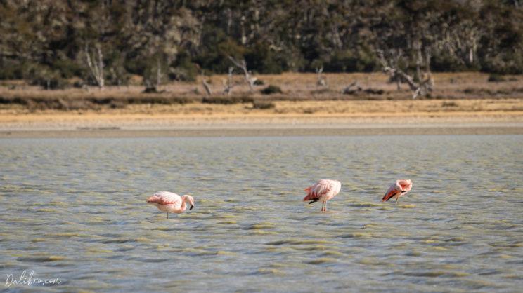 Elegant flamingos in Tierra del Fuego, Patagonia, Chile