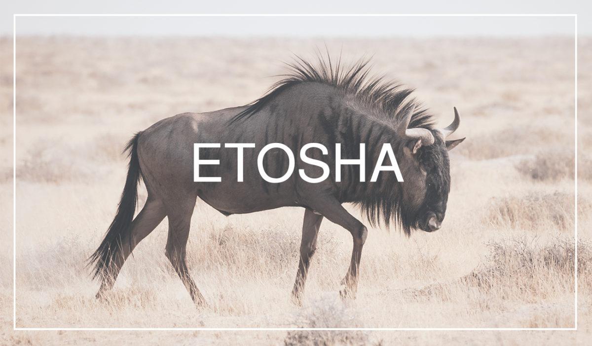 Wildebeests are omnipresent subject for wildlife photography in Etosha