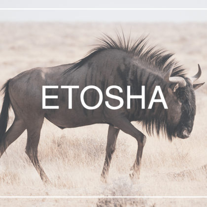 Wildebeests are omnipresent subject for wildlife photography in Etosha