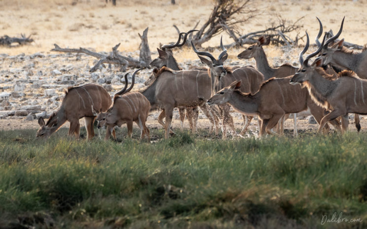 We started the morning by photographing a herd of thirsty kudus in beautiful soft light.