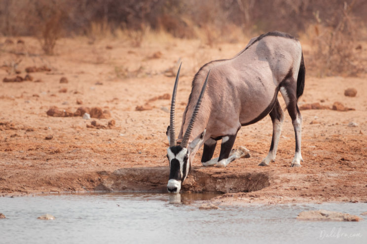 Oryx arrived to one of Etosha's several man-made waterhole