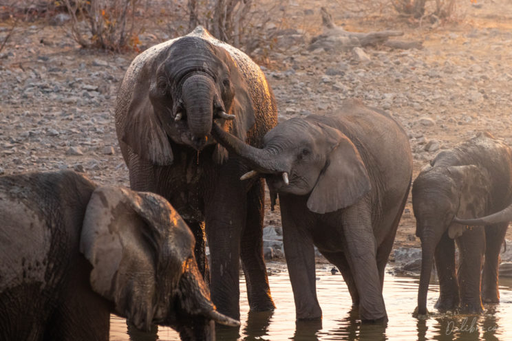 We were lucky to photograph a massive elephant party during sunset at Moringa waterhole (Halali camp)