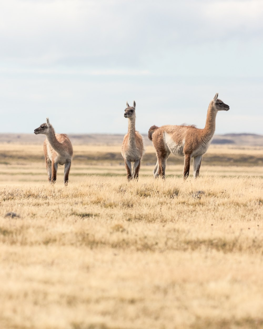 The chilean side of Tierra del Fuego is a home to many guanacos.